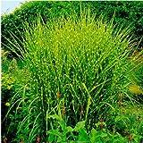 Seed House-KOUYE 100 pcs Colorful Tiger Grass Seeds Fast Grow Ornamental Grass/Exotic Plants Zebra Grass Garden Plants Seed Hardy Perennial