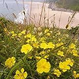 Nuts n' Cones Wildflower - Common Rock-Rose - 50 Seeds