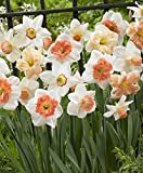"Daffodil Narcissus ""Pink Mix"", (10 bulbs) Long lasting~Trumpet Daffodil Mix Bulb"