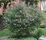 50 Hungarian Lilac Tree Seeds, Syringa Josikaea