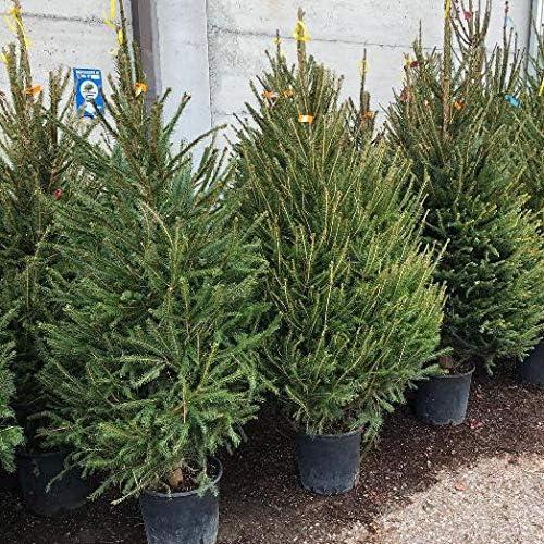 Albero Di Natale Vero.Albero Abete Di Natale Vero Picea Abies H 130 Cm Amazon It Giardino E Giardinaggio