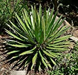 Agave filifera - Thread Agave - 20 Seeds