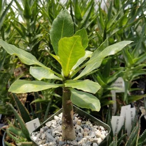 Brighamia insignis Cactus Cacti Succulent Real Live Plant