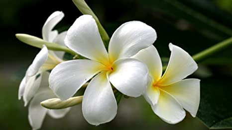 Amazon hawaiian white plumeria cutting special 2 for 1 hawaiian white plumeria cutting special 2 for 1direct mightylinksfo