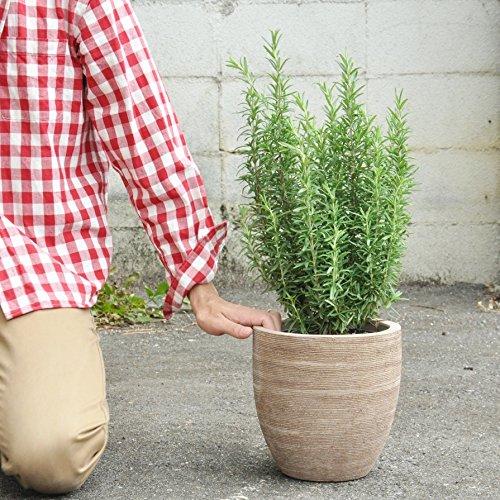 LAND PLANTS ローズマリー テラコッタ鉢