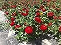 Dwarf Zinnia Elegans Red Large-flowered Plant 500 Seeds