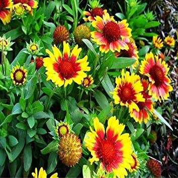 Amazon New Blanket Flowers Gaillardia Aristata Mix Perennial