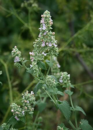 300pcs Catnip Seeds Catmint Nepeta Cataria Seeds Perennial Herb Flower Seeds