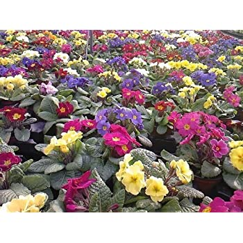 200 PCS Seeds Mix Color Flowers Mexican Hanging Pansy Plants Free Shipping 2019