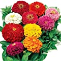 Zinnia Dwarf Mix Color Giant Double Flower 200 Seeds