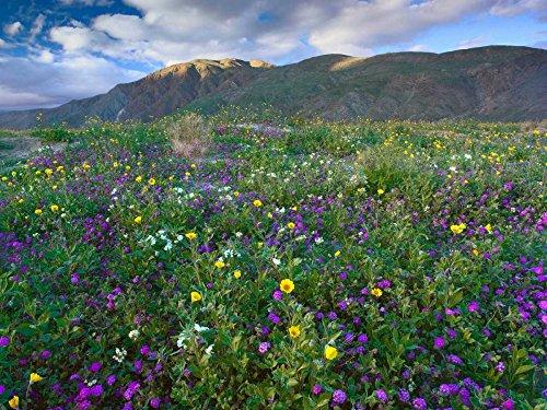 Wildflowers carpeting the ground beneath Coyote Peak Anza-Borrego Desert California Poster Print by Tim Fitzharris (9 x 12) (Anza Borrego Wildflowers Best Time)