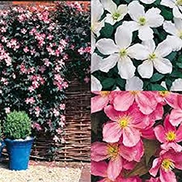 Lot of 3 mixed clematis climbing plants fast growing in 9 cm sized lot of 3 mixed clematis climbing plants fast growing in 9 cm sized pots mightylinksfo