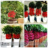 Go Garden BELLFARM Bonsai Ardisia crenata Christmas Berry Ornamental Perennial Tree Coralberry Tree High Germination -10pcs/Pack
