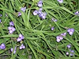 30 Purple Spiderwort Seeds (Tradescantia virginiana)