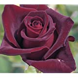 'Black Baccara' -R-, Edelrose in A-Qualität Wurzelware