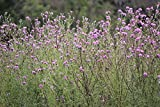 1/4 oz Seeds Cirsium muticum SWAMP THISTLE