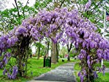 Amethyst falls Wisteria vine Wisteria frutescent 'Amethyst falls' 'Amethyst falls,' like other Wisteria, is a strong grower, reaching 30' or more. It is, however, not invasive like its Asian cousins. This native variety is less vigorous &...
