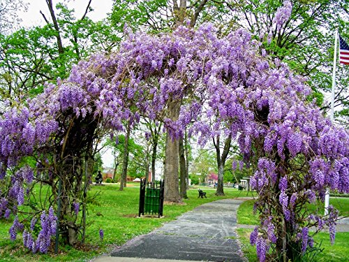 Amethyst Falls Wisteria Vine - Live Plant - 3 Inch Pot (Fragrant Flowering Tree)