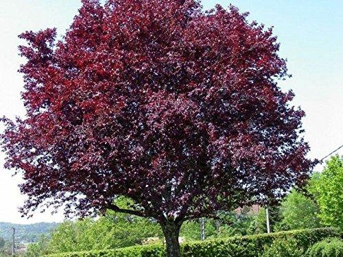 10 Fresh Tree Cuttings Purple Leaf Plum ! Weeping Cherry, Weeping Willow, Peach, Apple, More ()