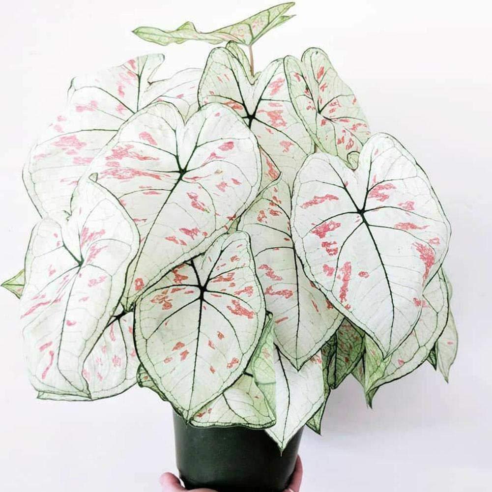 100 PcsThailand Caladium Bicolor Seeds Bonsai Colocasia Plant