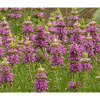 100 Lemon Mint Bee Balm 100 Seeds Fragrant Herb!! - Deer Resistant!.Monarda Citriodora. Annual : Garden & Outdoor