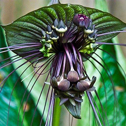 SimingD- 10 BAT Flower (Cats Whiskers/Devil Flower) Tacca Chantrieri Flower Seeds (Bat Flower Plant)