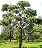 Tree Seeds Online - Scots Pine Pinus Sylvestris. 25 Seeds - 1 Packs