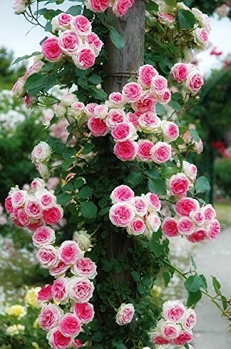 M Tech Gardens Rare Grafted Pink White Double Climbing Rose Perennial Flower Live Plant Amazon In Garden Outdoors