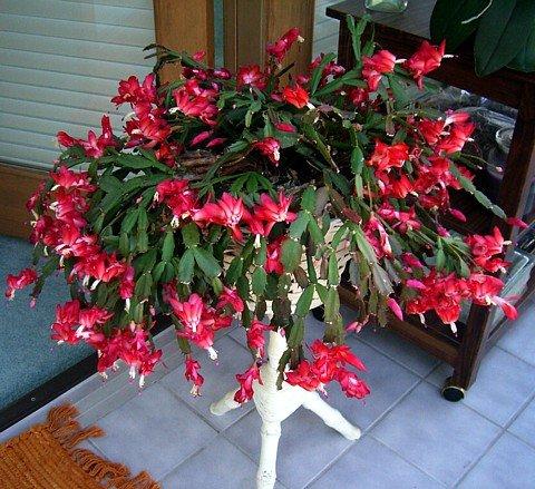 Christmas Cactus Plant.Red Christmas Cactus Plant Zygocactus 4 Pot