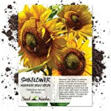 buy Seed Needs, Mammoth Grey Stripe Sunflower (Helianthus annuus) 140 Seeds Non-GMO now, new 2020-2019 bestseller, review and Photo, best price $7.85