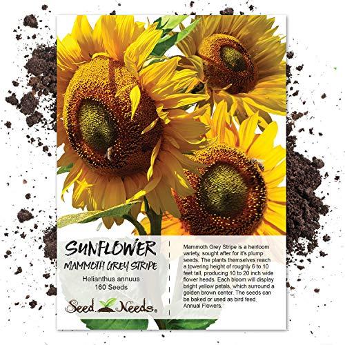 Seed Needs, Mammoth Grey Stripe Sunflower (Helianthus annuus) 140 Seeds Non-GMO -