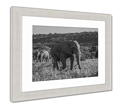 Ashley framed prints elephant in the wild at the welgevonden game reserve in south africa