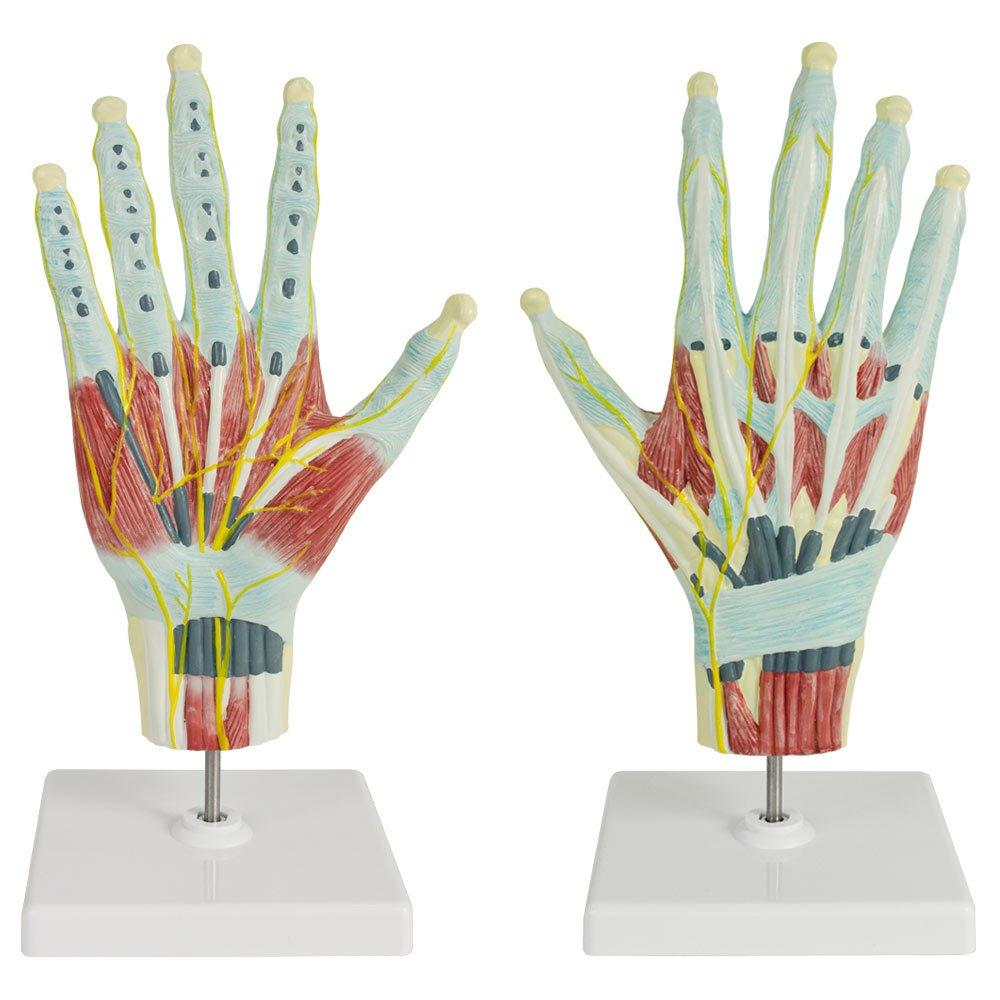 Mano Anatomía Modelo Humano Anatómico Tamaño Natural Músculos ...