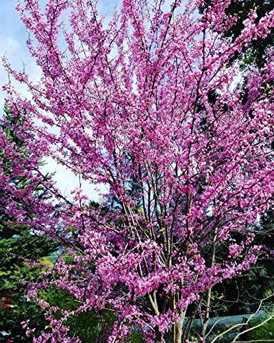 Redbud Trees Flowering - 2 Live Plants American Eastern Redbud Trees Sapling Ornamental Purple Flowering