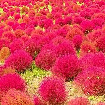 Upstone Garten Exotic Sommerzypresse Saatgut Bodendecker Samen