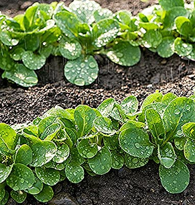 Mache Lettuce - Delicious Verte de Cambrai - 3000 Seeds of Small Leaf Variety and Best for Overwintering in the Cold Northeast. Corn Salad.