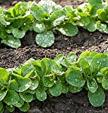 buy Mache Lettuce - Delicious Verte de Cambrai - 3000 Seeds of Small Leaf Variety and Best for Overwintering in the Cold Northeast. Corn Salad. now, new 2018-2017 bestseller, review and Photo, best price $8.53