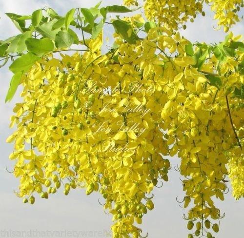 (Cassia Fistula Golden Shower Tree Seeds Yellow Flower Clusters Drought Tolerant 10 Seeds)