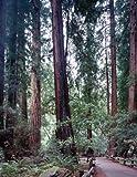 Muir Woods. A Fine-art Photographic Print by Carol M. Highsmith.