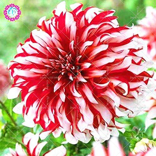 25pcs Dahlia pinnata flor Bonsai Semillas Fácil El cultivo perenne florecientes plantas para jardín balcón Patio interior Out 4: Amazon.es: Jardín