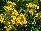 Erysimum Seeds Gold Shot Flower Seeds (PERENNIAL) wall flower 250 seeds
