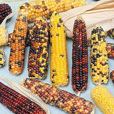 Multicolored Broom Corn Garden Seeds - Non-GMO Vegetable Gardening Seeds - Multi Color Ornamental & Decorative