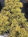 gold thread cypress Gold Thread Cypress (Chamaecyparis pisifera 'Filifera Aurea')