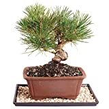 Brussel's Japanese Black Pine Bonsai - Medium (Outdoor) with Humidity Tray & Deco Rock