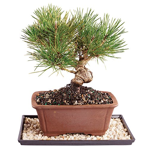 Brussel's Japanese Black Pine Bonsai - Medium (Outdoor) with Humidity Tray & Deco Rock by Brussel's Bonsai