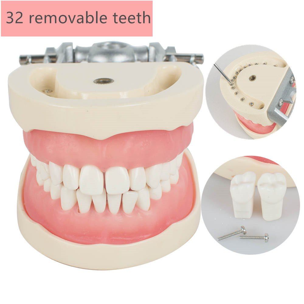 Careshine Removable Dental Teach Study Adult Standard Typodont Demonstration Model Teeth