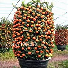 50 seeds/bag Rare potted fruit seeds new varieties of sweet orange seeds seedlings Oranges tree sapling fruit tree seed