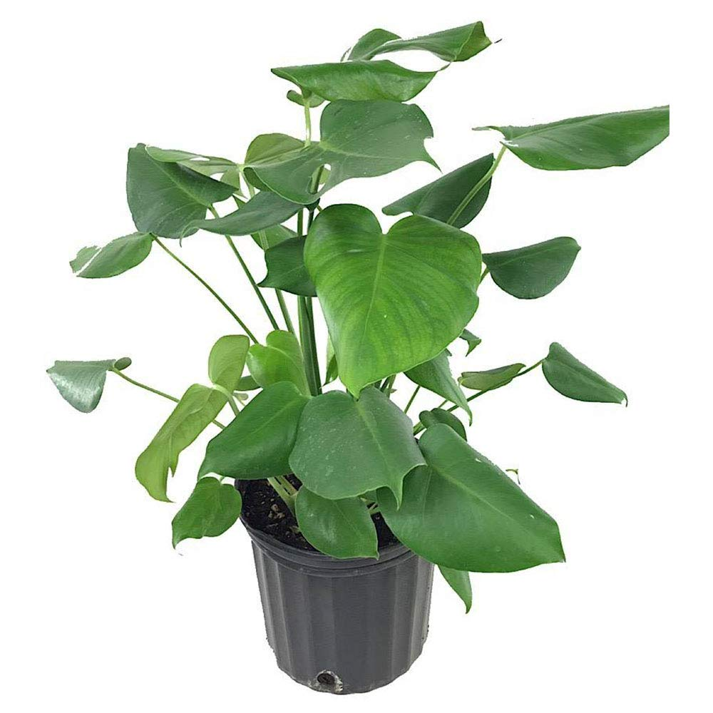 AMERICAN PLANT EXCHANGE Split Leaf Philodendron Monstera Deliciosa Live Plant 3 Gallon Indoor/Outdoor Fruit Producing!