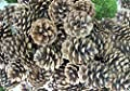 50 Pine Cones! PineCones, Wedding Pine Cones, Wreathe Pine Cones, Natural Pine Cones