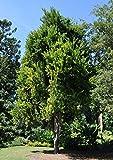 Macadamia integrifolia | 5_Seeds